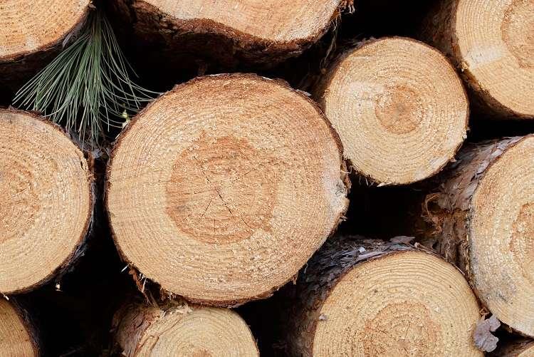Freshly Cut Red Pine (Pinus resinosa)